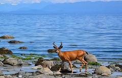 On the beach (shireye) Tags: nikon stag bc britishcolumbia deer vancouverisland fullframe fx ff straitofgeorgia grantham sealbay d610 24120 sealbaynaturepark