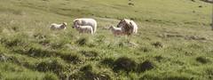 Iceland: Icelandic Sheep (jeanmariehoward) Tags: iceland icelandicsheep sheep baa nikon nikond600 nikonphotography