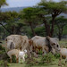 Boran cattle and goats