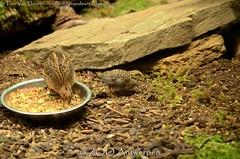 Chinese dwergkwartel - Excalfactoria chinensis - king quail (MrTDiddy) Tags: chinese dwergkwartel excalfactoria chinensis king quail kuiken chick dwerg kwartel vogel bird zooantwerpen zoo antwerpen anterp