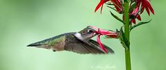 Hummer-2-08022026 (explore) (beabss) Tags: hummingbird rubythroatedhummingbird birds nikond4s nikon500mmf4