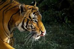 Malayan tiger (pavel conka) Tags: tiger tygr malajsk malayan tigris panthera zoo praha conka animal kawi