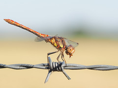 Suppertime For Darter (bredma) Tags: dragon dragonfly commondarter male insect wild uk british wildlife nature naturallight macro closeup idlevalley barbed wire olympus em1 60mmmacro