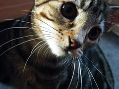 Buddy (rospix+) Tags: rospix 2016 august wales uk cat tabby tabbycat kitten macro eyes whiskers animal
