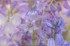 Purple Party (satochappy) Tags: flower purple spring sydney nsw australia wisteria flowers 花 藤 春 macro tamron bluebell spanishbluebell hyacinthoideshispanica