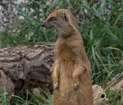 Cotswold Wildlife Park_August 2016 _Mongoose (Jane Nesbitt) Tags: mongoose wildlife nature