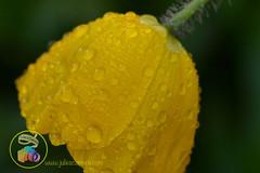 Poppy yellow drops (Julies Camera) Tags: raindrops waterdrops flowers kowhai rosemary capedaisy poppy ferns buddleia daisy cobweb calendular alyssum abutilon marco droplets cobwebs quakinggrass onionweed
