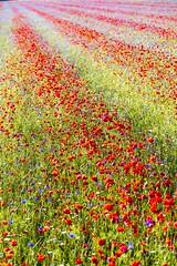 \\\\ (Fr@tes) Tags: castellucciodinorcia castelluccio colori colors explore canon eos fioritura