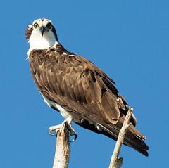 _C5A2055.jpg (Lake Worth) Tags: bird nature birds animal animals canon wings wildlife feathers sigma waterbird wetlands everglades waterbirds southflorida 2xextender