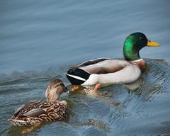 The Twosome (gtncats) Tags: park nature duck pond wildlife mallard mallardduck photographyforrecreation allnaturesparadise