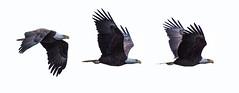 Eagles in Flight Panorama (Jim Dollar) Tags: panoramas richmond va birdsinflight jamesriver eag jimdollar canon6d