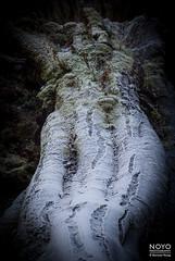 noyo-frosty-dawn-4776 (Noyo Photography) Tags: westlothian dawn frost tree trunk lumber anthropomorphism fujifilms5pro fujifilm s5 scotland