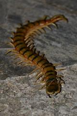 Scolopendra cingulata (Hachimaki123) Tags: animal insect insecto myriapoda cienpis escolopendra scolopendromorpha scolopendracingulata
