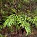 Southern Sassafras (Atherosperma moschatum sub-species integrifolia) Tia River