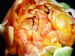 Tulpe (assy_47) Tags: flower panasonic gelb blume tz1