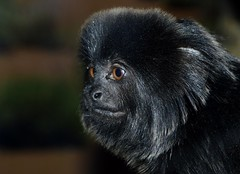 Goeldi's Monkey _DSC0015 (ikerekes81) Tags: zoo monkey nationalzoo primate dczoo smallmammal goeldismonkey callimicogoeldii smithsoniannationalzoologicalpark