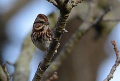 Mt. Pleasant Song Sparrow (Odonata457) Tags: song sparrow melospizamelodia