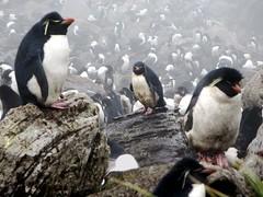 Penguins and Albatrosses (D-Stanley) Tags: penguin rockhopper falklandislands rookery albatross westpointisland