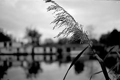Reed head (knjy) Tags: thames river reeds bokeh nikonf 35mmnikkor adox acutol adox100 taggsisland silvermax f2035mmnikkor