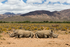 Couple of rhinos (Inti Runa) Tags: southafrica mammal ngc rhino rhinoceros mammifère westerncape littlekaroo inverdoorn canoneos5dmarkiii canon2470mmf28iil