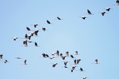 2014 11 CHANTECOQ (51)_76528 Grue cendre (Grus grus) (chamane45) Tags: marne lacduder chantecoq oiseau bird pjaro gruecendre commoncrane grullacomn