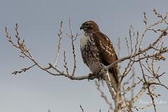A hawk keeps watch for its prey