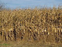 Harvesttime Corn (Lunken Spotter) Tags: autumn columbus ohio plants plant fall rural corn cornfield farming harvest dry farmland crop ag cornstalks fields oh cornfields farms crops dried agriculture maize cornstalk franklincounty centralohio