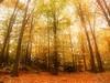 Forest in Autumn (David Cucalón) Tags: autumn trees fall forest focus soft arboles bosque otoño highkey suave enfoque clavealta 2013 cucalon 1442mm olympuse510 davidcucalon