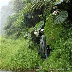 IMG_6857 Begonia baccata (Raiwen) Tags: africa rainforest begonia begoniaceae endemic centralafrica sãotoméepríncipe eudicots montanerainforest sãotomé rosids cucurbitales lagoaamélia begoniabaccata begoniacrateris baccabegonia