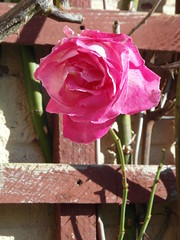 One of the last this year (bryanilona) Tags: rose wall garden trellis climber fantasticflowers abigfave