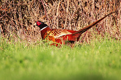 Pheasant (HollyRuthven) Tags: uk winter birds southwales canon pheasant wildlife tamron newportwetlands