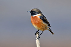 Be fast sucker! (Yako36) Tags: bird portugal ave birdwatching peniche tc14e nikonafs300f4 atouguiadabaleia nikond7000