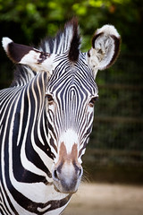 portrait (Cloudtail the Snow Leopard) Tags: zoo frankfurt tier animal mammal säugetier zebra cloudtailthesnowleopard