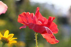 Sunlight Joy (gráce) Tags: flowers summer sunlight plant flower macro nature garden flora bokeh joy poppy