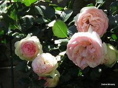 pierre de ronsard (damselfly58) Tags: pink flower floral fleur rose garden flora pierrederonsard