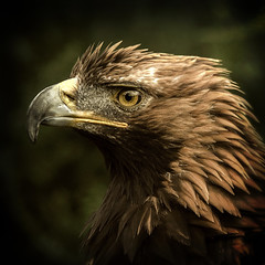 Golden Eagle (10000 wishes) Tags: bird nature eagle wildlife feathers raptor goldeneagle
