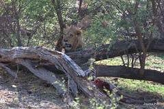 Lion with prey (Zsuzsa Por) Tags: africa bird animal wildlife lion felines botswana vulture animalplanet makgadikgadi wildlifeafrica canonistas canoneos7d canonef70200mmf28lisusmii canonextender14xiii