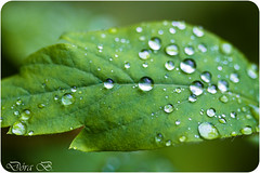 Leaf (Dóra B.) Tags: green nature rain leaf drop drip dorabirgis