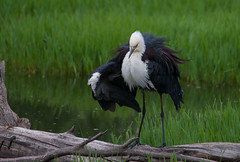 White-necked Heron  (Ardea pacifica)-2-3 (rawshorty) Tags: birds australia canberra act jerrabomberrawetlands rawshorty