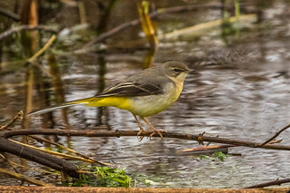 Grey Wagtail - Explored 08/01/15