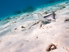 Eagle ray on the forage (altsaint) Tags: underwater panasonic bonaire gf1 saltpier