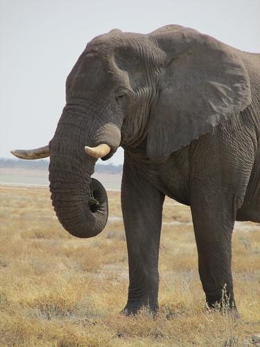 Eléphant, Etosha, Namibie