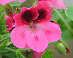 Blushed! ('cosmicgirl1960' NEW CANON CAMERA) Tags: travel flowers nature gardens spain parks espana costadelsol andalusia marbella yabbadabbadoo worldflowers