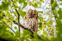 Tawny Owl (strix aluco) (phat5toe) Tags: nature birds nikon wildlife feathers avian wigan flashes d300 tawnyowl greenheart strixaluco lancashirewildlifetrust sigma150500