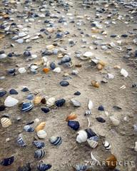 Shells, shells, shells (uiltje) Tags: shells beach strand waddenzee island waddeneiland sand sealife ameland schelpen zand eiland waddeneilanden zeedieren iphonegraphy