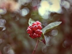 2015-09-30_18-41-58 (torstenbehrens) Tags: camera nature fruit digital dc bokeh sigma olympus f28 e510 1850mm