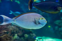 Blue-lined surgeonfish (Oddiseis) Tags: city blue fish water valencia animal museum spain underwater acquarium tropical surgeonfish acanthurus loceanogrfic valenciancommunity