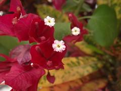 DSC04062 (familiapratta) Tags: flowers flores flower nature iso100 sony natureza flor hx100v dschx100v
