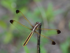 In The Meadow Spangled Skimmer Female (bamboosage) Tags: macro with cosina ngc mc npc 12 55 vivitar teleconverter 2x focusing