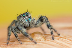 phidippus johnsoni (shimie) Tags: color macro male green eye nature grass animal les forest canon hair lens eos spider moss jumping eyes outdoor wildlife arachnid small extreme 100mm jed l jumper funghi slovakia spinne 100 mm usm predator wald jumpingspider mach trava raynox arachnos chlp skkavka skakavka chelicery